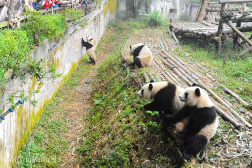 成都ジャイアントパンダ繁殖研究基地