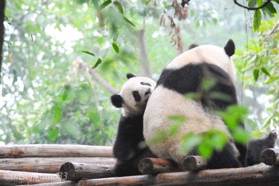 成都パンダ繁殖育成研究基地3